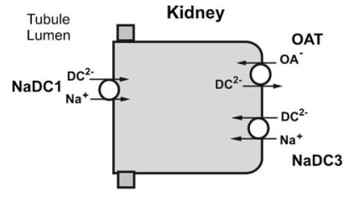 picture of renal cell with citrate transporters reference in text
