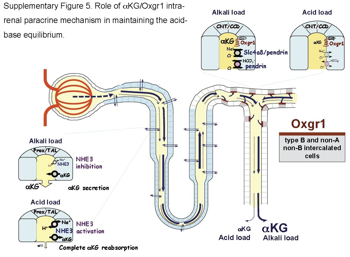 alpha ketogluterate pt dt loop