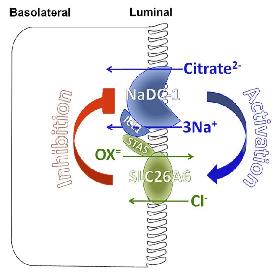 nadc1 slc26a6 interactions