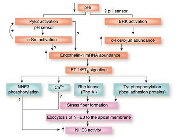 presig figure from 2007 about endothelin